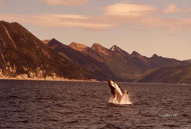 Alaska-Kruzof Is.-Whale Jump-SwittersB