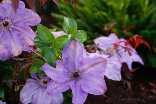 clematis-japanese maple-SwittersB