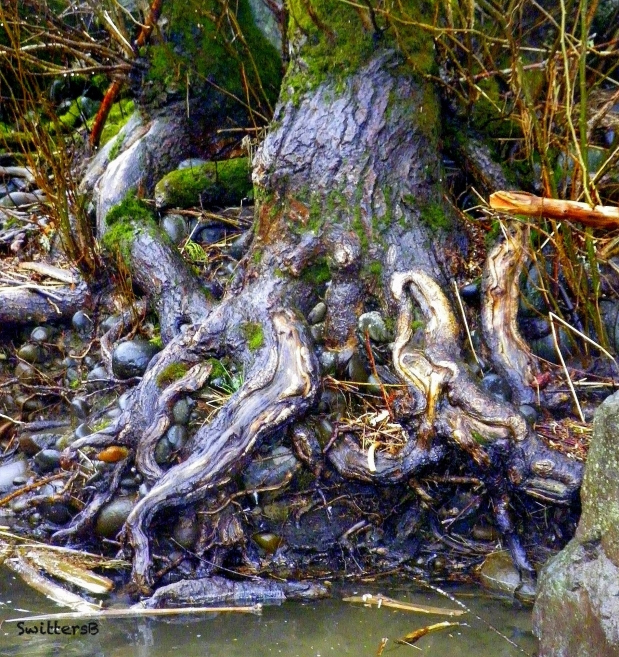 gnarly tree-Clack R.-Oregon-SwittersB