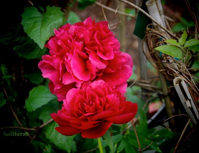 Peony-Garden-SwittersB