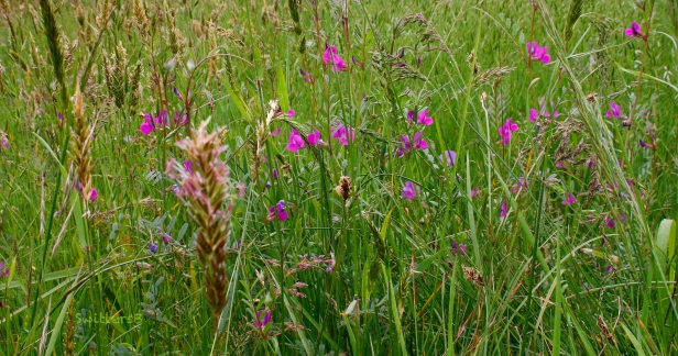 Tall Grass and flowers-SwittersB