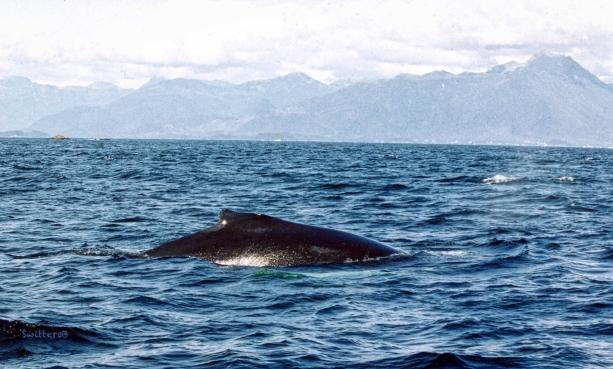 whale-sitka-alaska-SwittersB