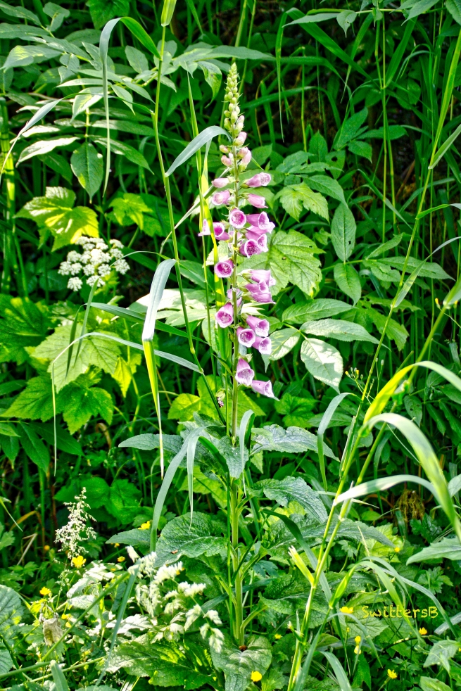Foxglove-Color-Vegetation-woods-SwittersB