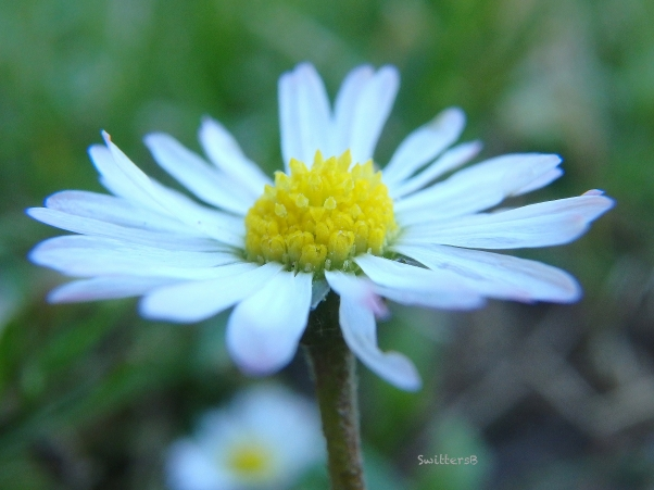 little daisy-grass-SwittersB