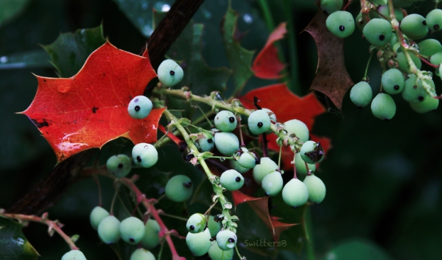 Wetland-Red leaf-berries-Oregon grape-SwittersB.jpg