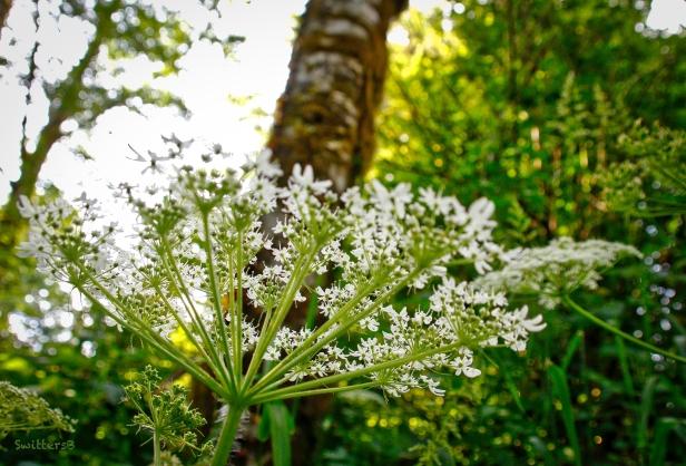 wild carrot-queen anne's lace-oregon-SwittersB