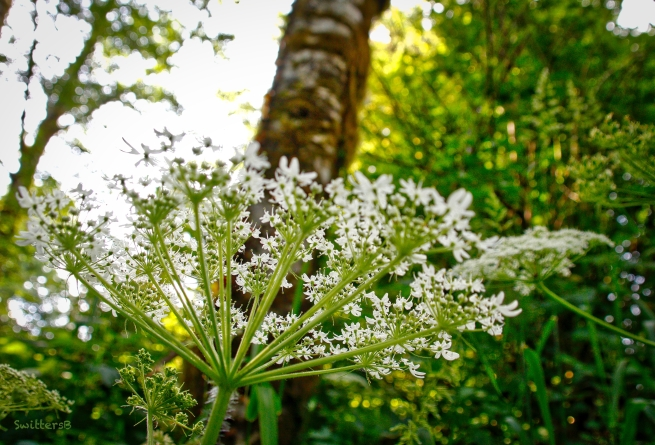 wild carrot-queen anne's lace-oregon-SwittersB