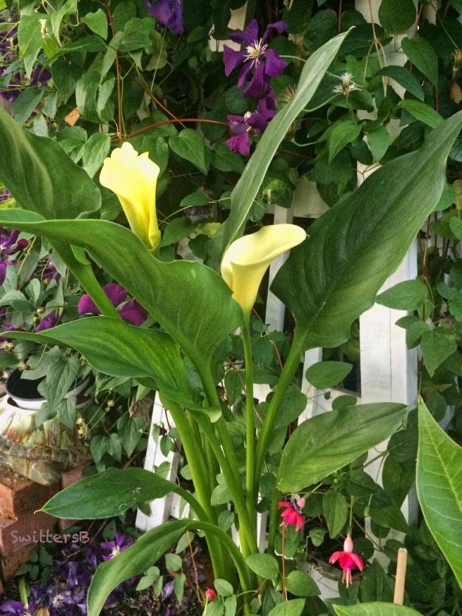 clematis-Fuchsia-SwittersB