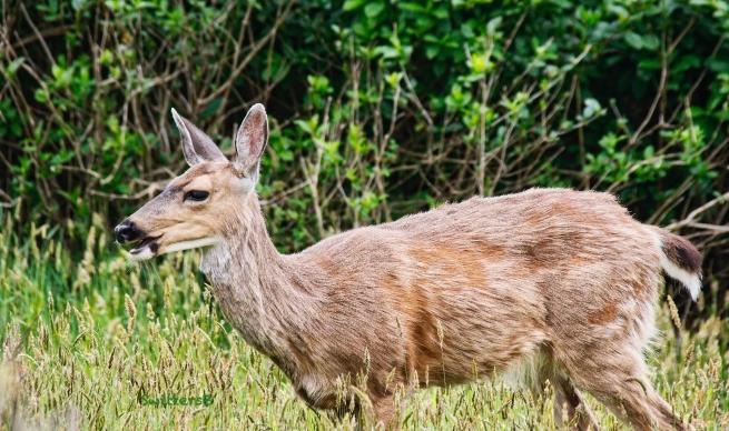 coastal black tail deer-Gearhart-Oregon-SwittersB