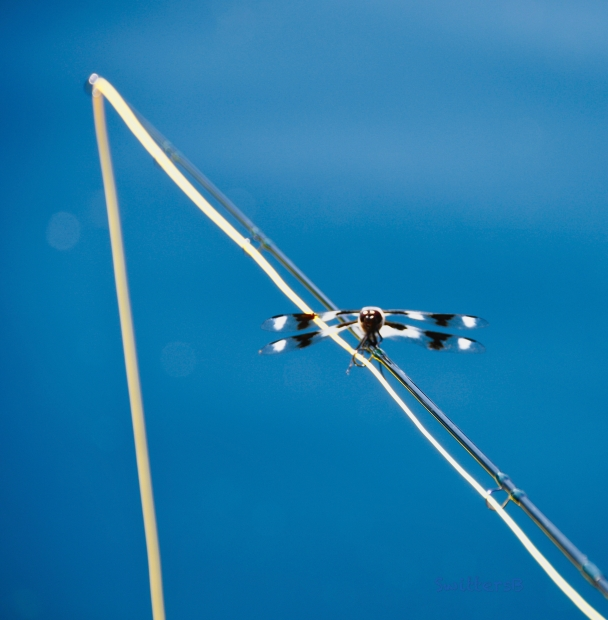 Fly Fishing-Dragon fly-SwittersB