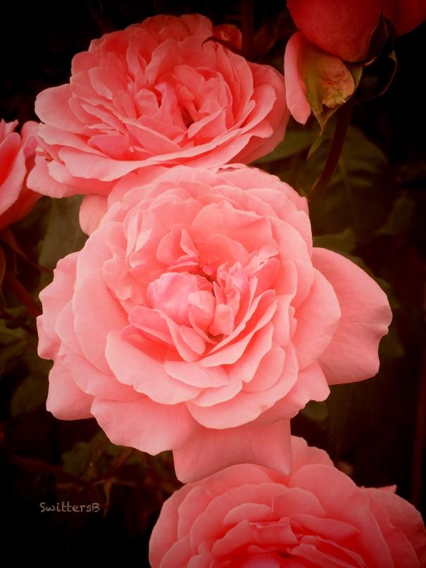 Pink Roses-garden-SwittersB