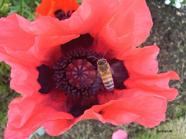 poppy-honey-bee-2 swittersb