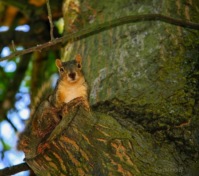 Squirrel-Tree-Oregon-Swittersb