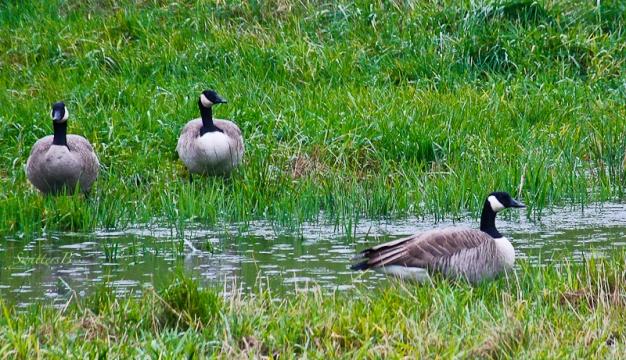 geese-wetland-SwittersB