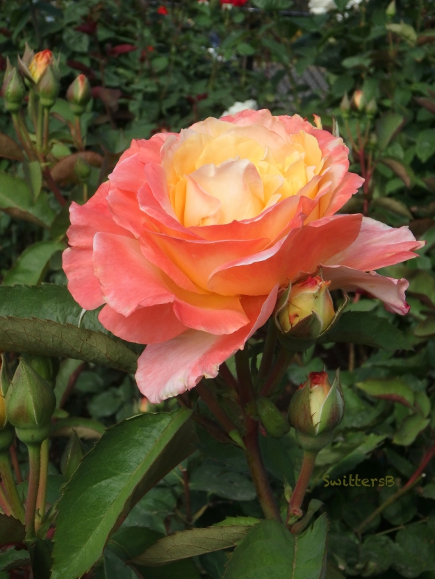 luscious rose-garden-SwittersB