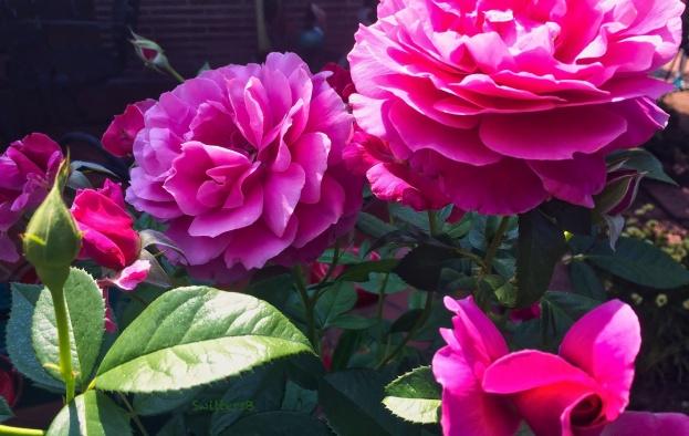 pink roses-bud-patio-SwittersB
