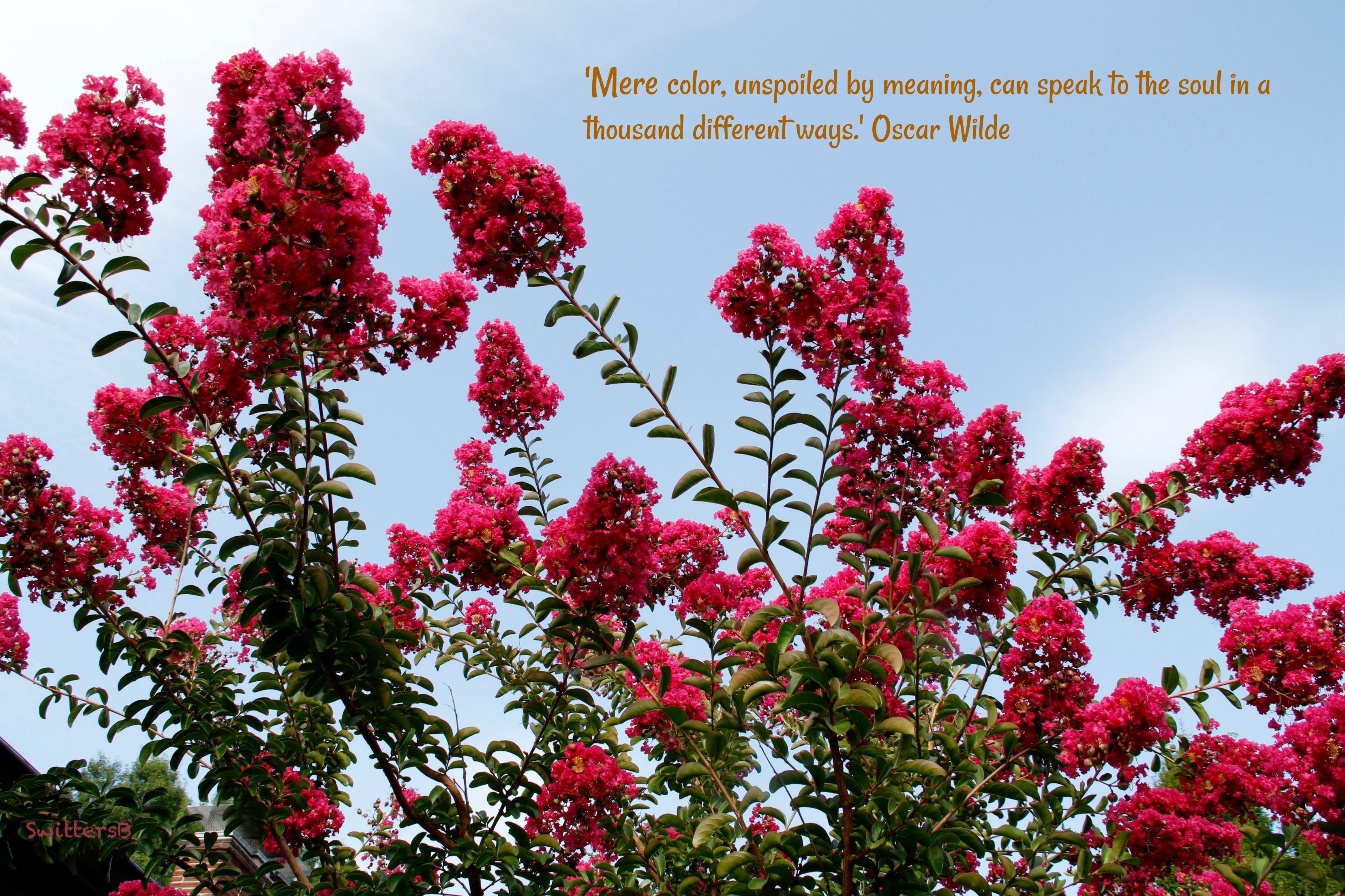 red crepe myrtle-tree-front yard-SwittersB.jpg