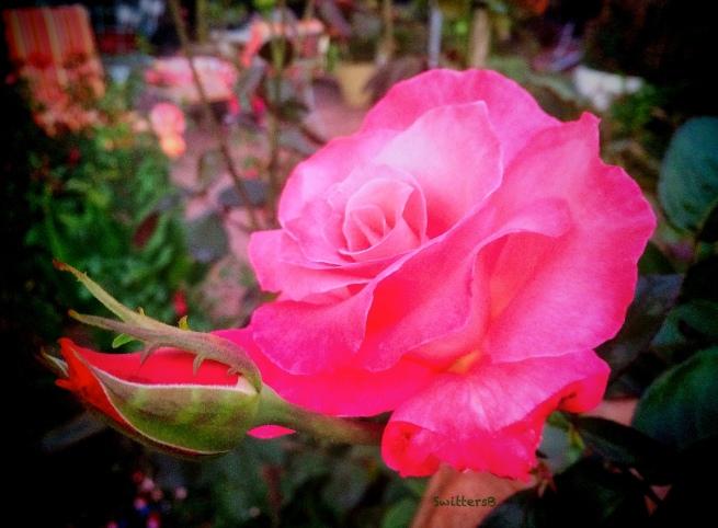 Rose and bud-garden-SwittersB