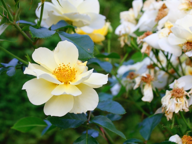 rose-garden-pruning needed-SwittersB