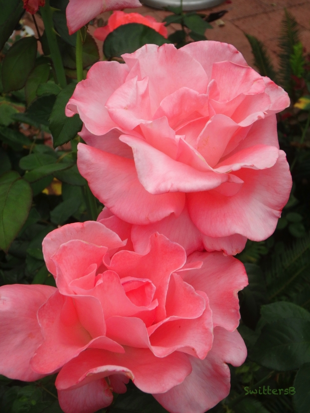 two pink roses-garden-SwittersB