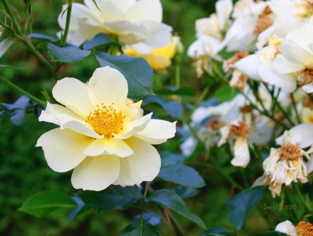 white rose-dead roses-SwittersB 2