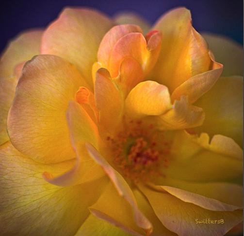 Yellow Petals-Gardening-SwittersB