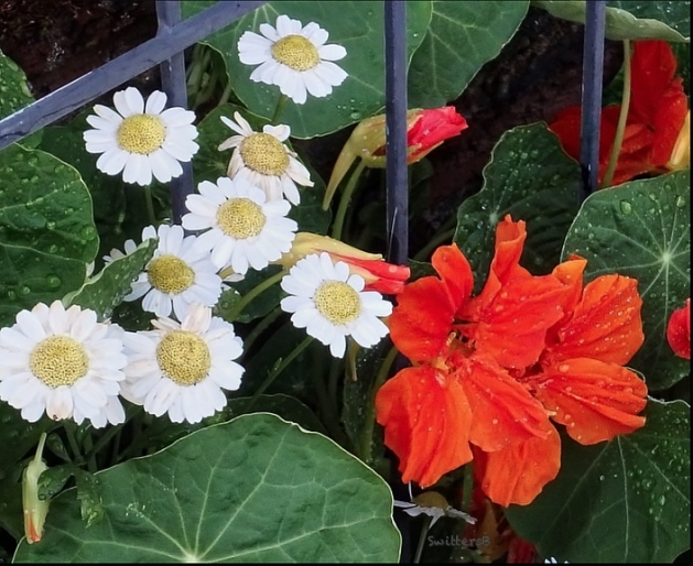 daisies-nasturtiums-leaves-SwittersB