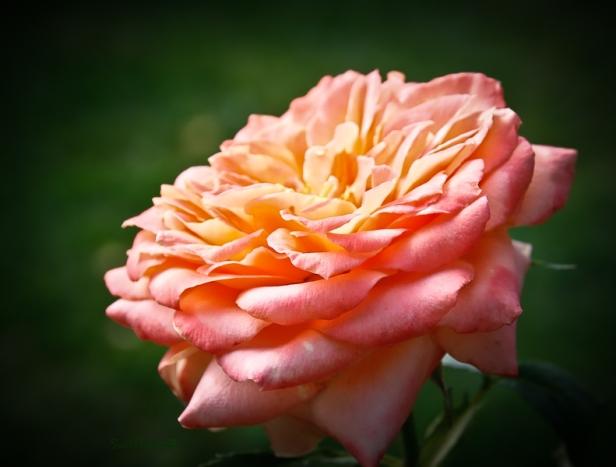 many petals-rose-SwittersB-3
