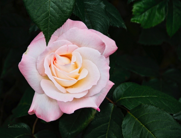 pale pink rose-leaves-garden-SwittersB 2