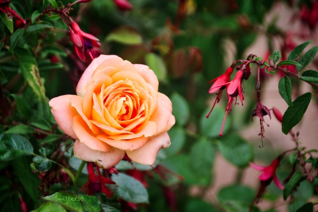peach rose-fuchsia-SwittersB