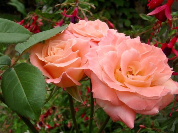 Peach roses-fuchsia-garden-2017-SwittersB