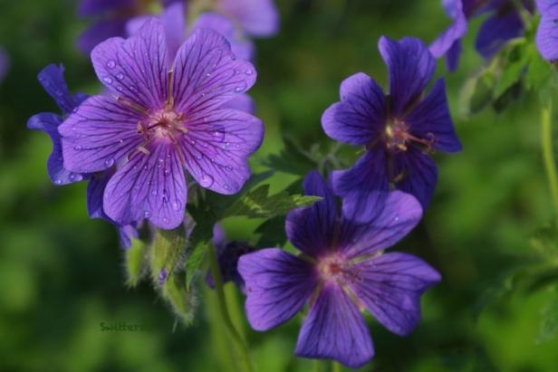 Petunias-flowers-garden-SwittersB