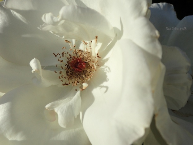 white rose-red stamens-SwittersB A