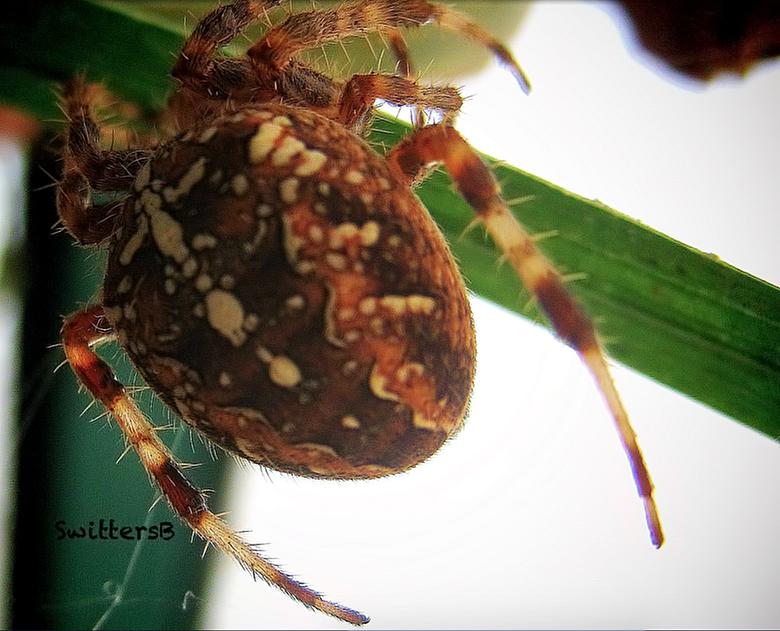 Big Spider-SwittersB