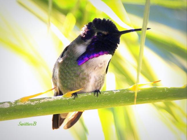 hummingbird-palm branch-SwittersB