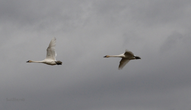 Tundra Swan-in flight-Sauvie Island-SwittersB.jpg