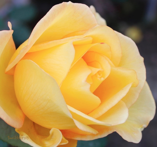 Yellow Rose-January-SwittersB