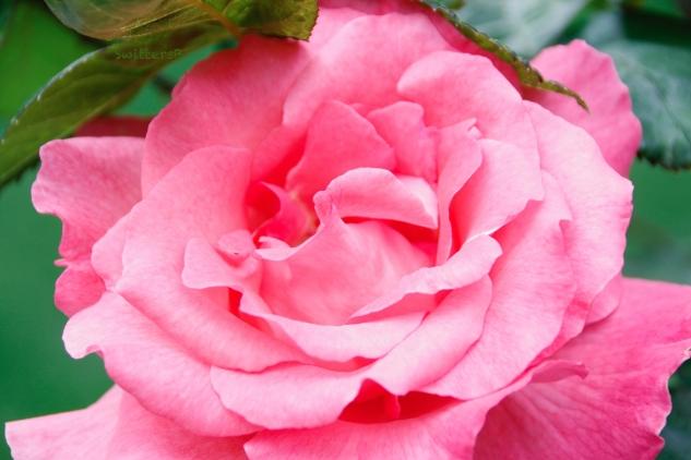 Pink Rose-Petals-Portland-SwittersB