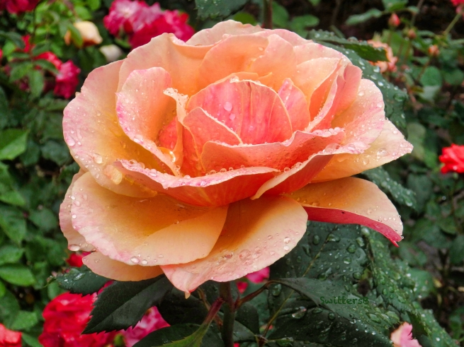 Peach rose-Portland-raindrops-SwittersB.jpg