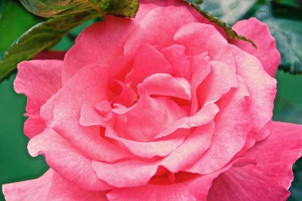 pink rose-petals-backyard-SwittersB.jpg