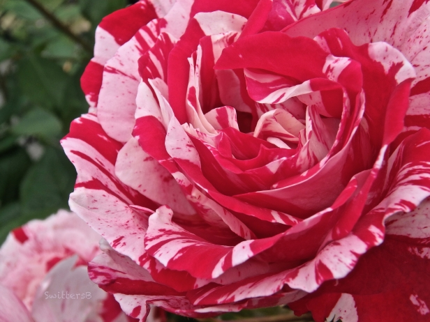 Red & White Rose-petals-backyard-SwittersB.jpg