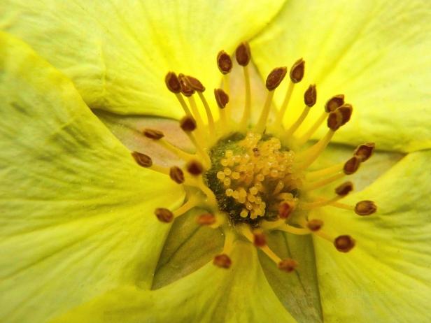 stamens-wild rose-SwittersB.jpg
