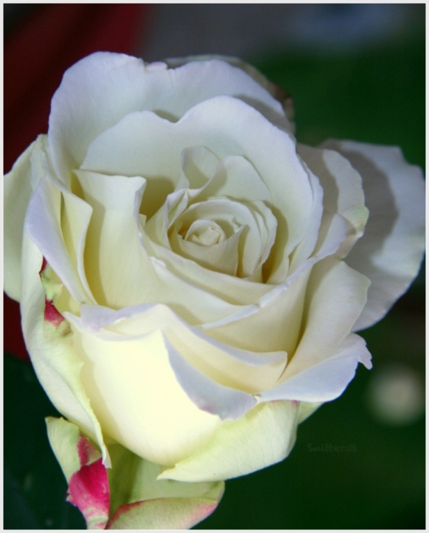 White rose with touch of red-backyard-SwittersB