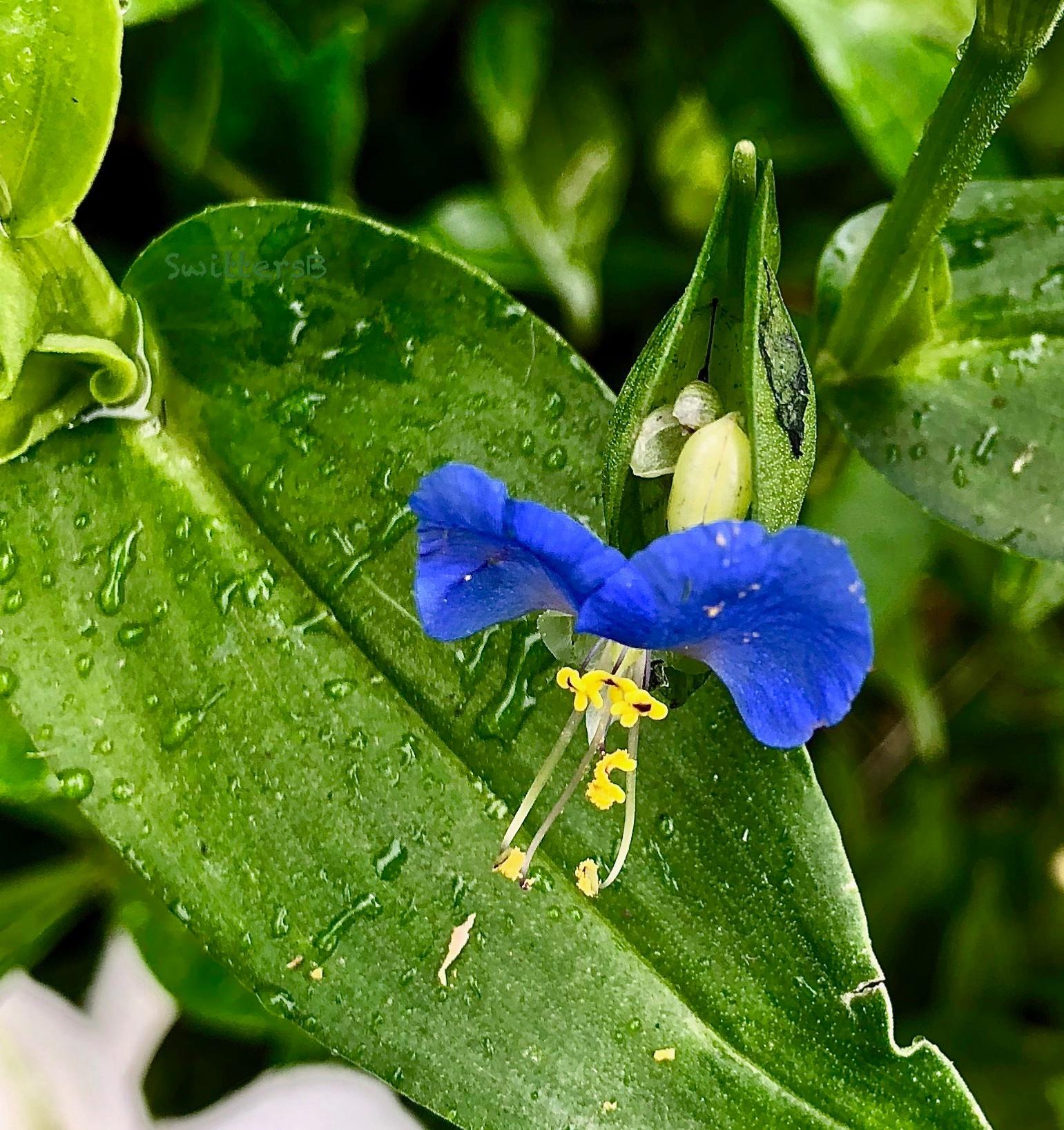 Small blue flower-emerging-SwittersB.jpg