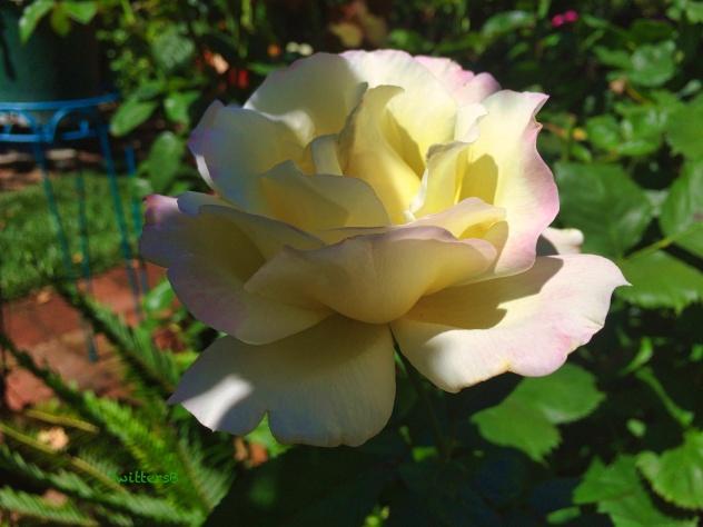 white:pink rose-shade & sun-SwittersB