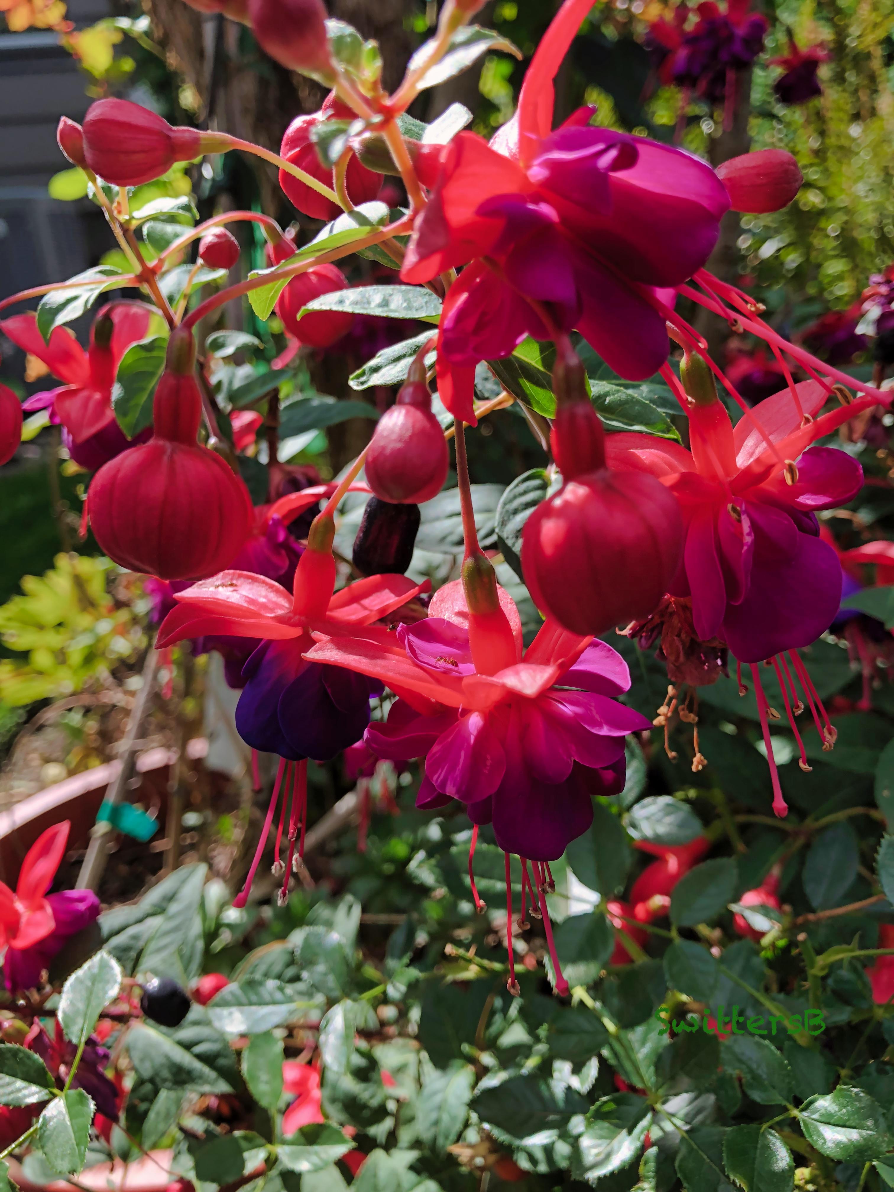 Fuchsia-Flowers-backyard-SwittersB