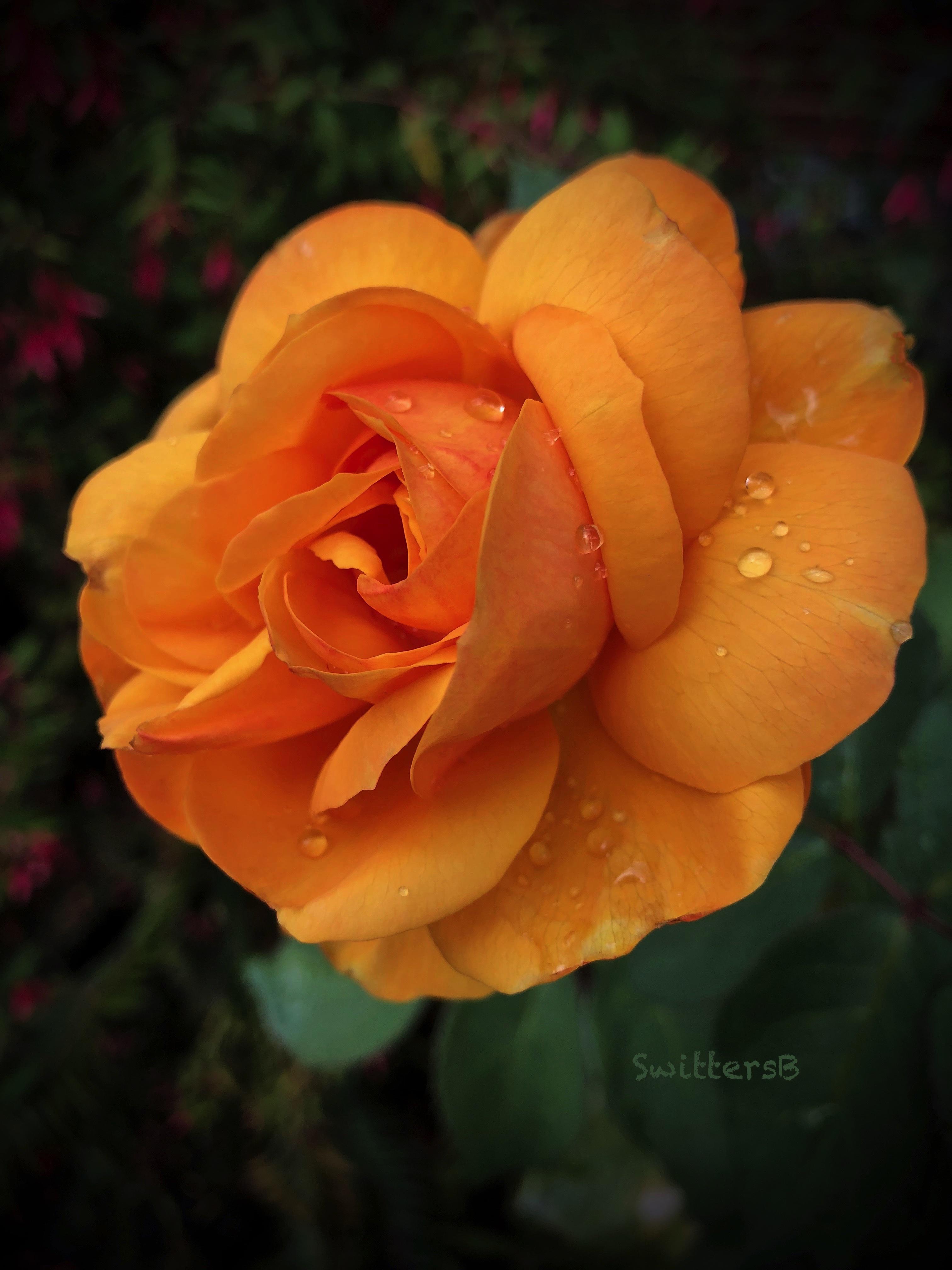 Gold Rose-Pop the Cork-raindrops-SwittersB