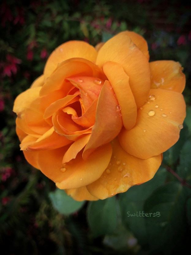 Gold Rose-Pop the Cork-raindrops-SwittersB