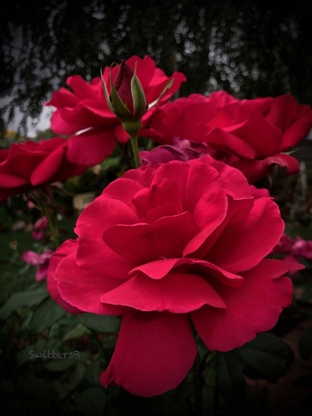 Red Roses-backyard-SwittersB.jpg