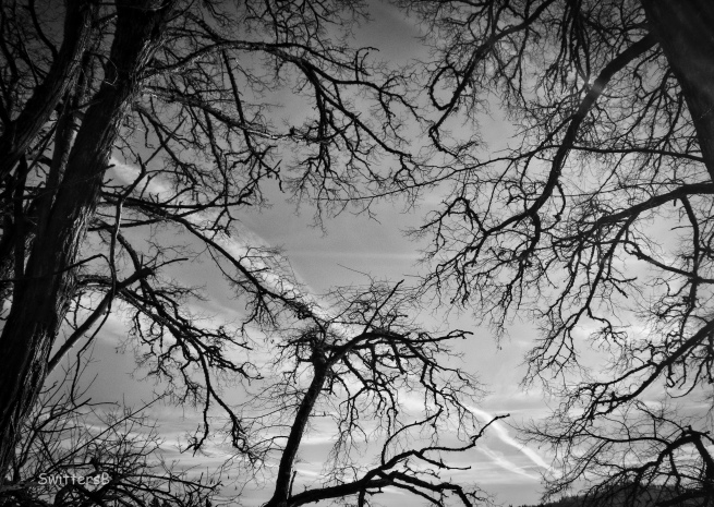 bare branches-sky-Oregon-SwittersB